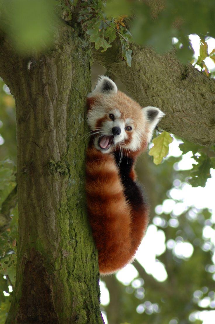 Red Panda in a Tree Y A W N I N G