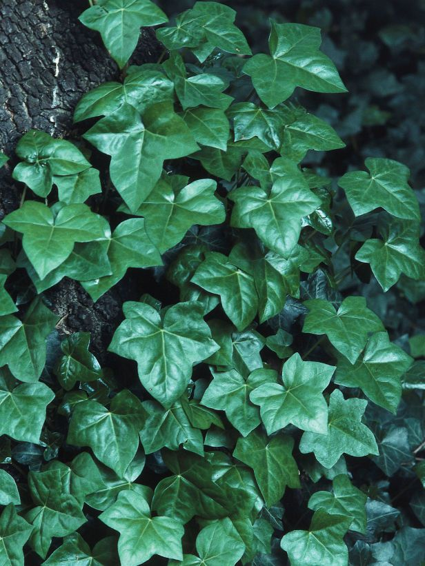 Ivy Heartiness  This variety of ivy is extremely fast growing with triangular, dark-green leaves that will grow almost anywhere.