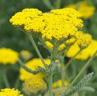 (P1)  Achillea 'Moonshine' yarrow Position: full sun Soil: well-drained, including dry soil Rate of Growth: average Flowering period: June to September Hardiness: fully hardy H: 60cm S: 40cm
