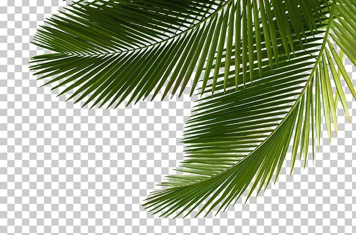 Arecaceae Asian Palmyra Palm Leaf Tree Sabal Palm Png Palm Leaves Palm Tree Png Palm Tree Photography