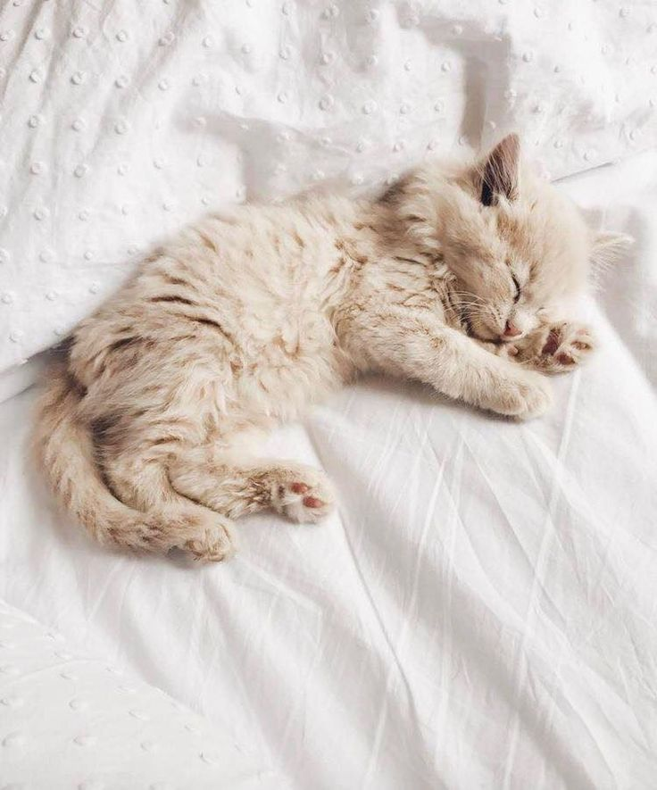 Cute Little Fluffy Kitten Sleeping In Bed Kitten Care Cute Animals Newborn Kittens