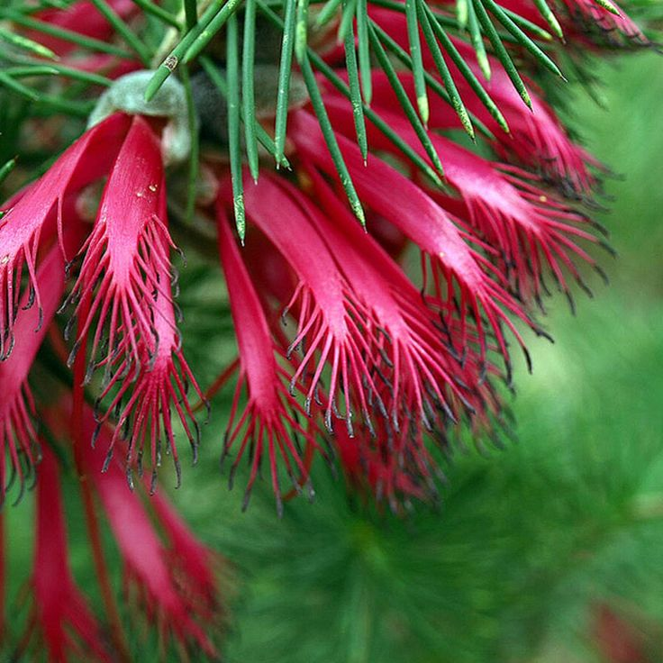 110 best Pflanzen aus Australien, Neuseeland ... images on Pinterest ...