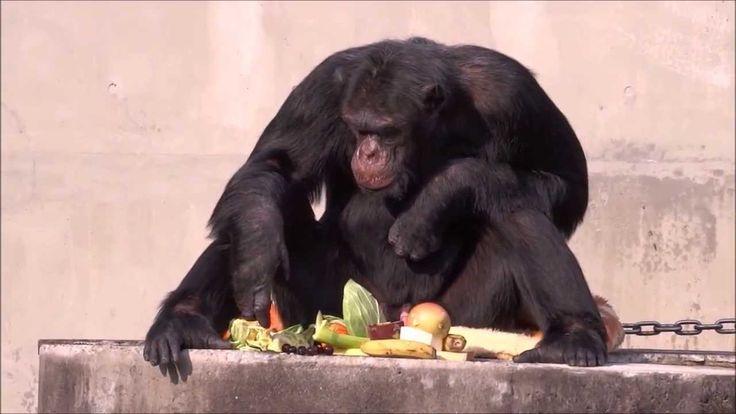 Chimpanzees Johnny & Jun at Hamamatsu Zoo