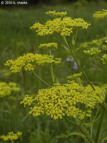 Photos and information about Minnesota flora - Wild Parsnip: flat clusters 3 to 8 inches across of tiny 5-petaled yellow flowers with yellow stamens