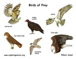 There are a few birds that are excellent hunters. Birds of prey include vultures, eagles, ospreys, hawks and other meat-eating birds. Discover more birds of prey facts for kids here: http://easyscienceforkids.com/all-about-birds-of-prey/