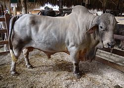 The Australian Charbray, are a cross between a Charlolais and a Brahman bull. They were introduced to the US from herds in Mexico, in 1934, becoming popular is 1960. Crossbreeding them with other breeds, improves lines. It is a popular growing breed and it is said to be fast replacing the Hereford breed.