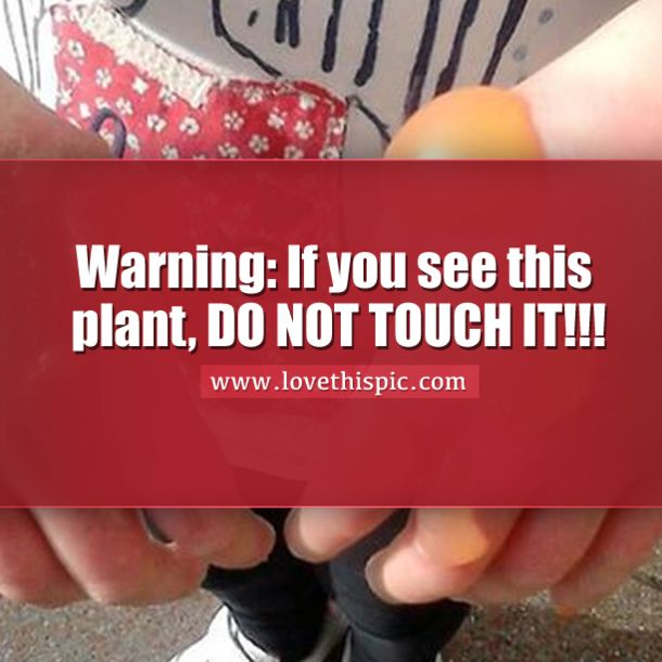 Warning If You See This Plant Do Not Touch It Giant Hogweed