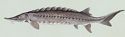 Sturgeon is the common name used for some 26 species of fish in the family Acipenseridae, including the genera Acipenser, Huso, Scaphirhynchus and Pseudoscaphirhynchus.