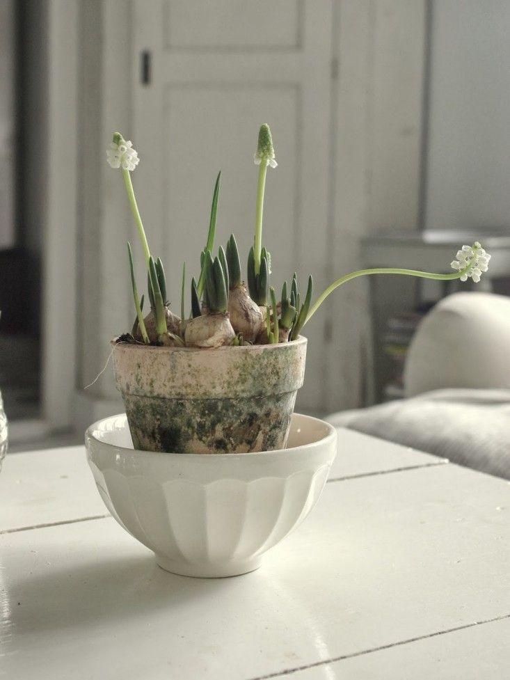 White muscari forced bulbs Scandinavian style ; Gardenista - Provided by Gardenista