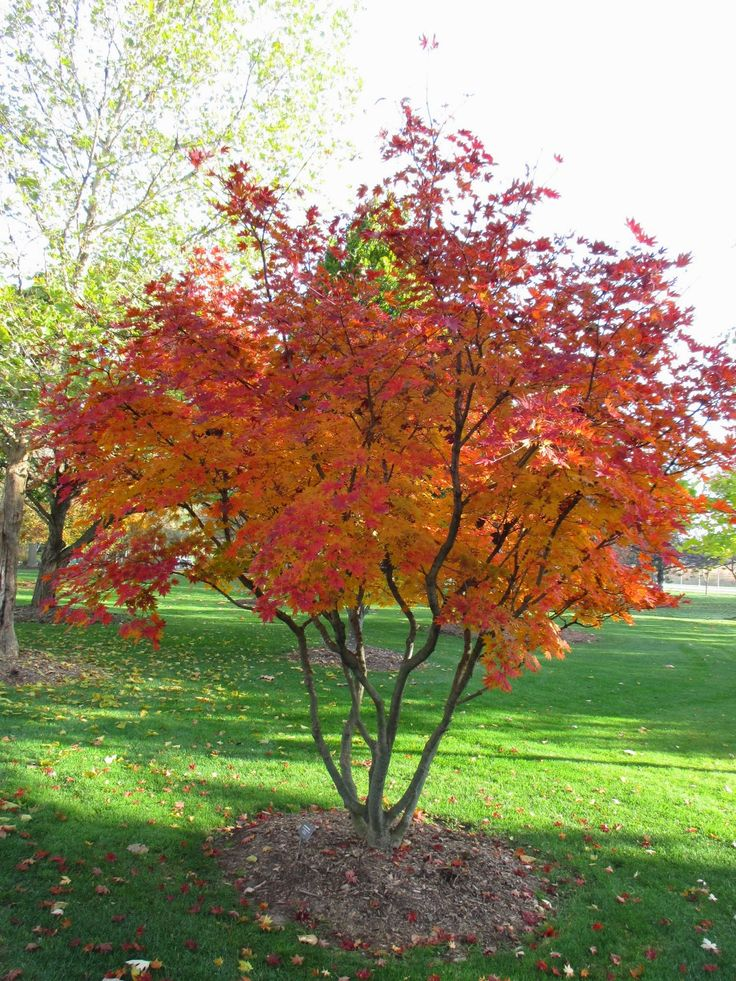 stewartia pseudocamellia fall color - Google Search