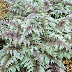 "Japanese Painted Fern  Evokes the shady tranquility of its native Oriental gardens. Lovely clumps 12-20"" high with a spread of up to 16"" have a weeping habit and exquisite foliage that appears ""painted"" with silver.   Light: Partial Shade to Full Shade"