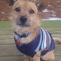 Potomac, Maryland - Border Terrier. Meet Tig, a for adoption. https://www.adoptapet.com/pet/20480254-potomac-maryland-border-terrier-mix