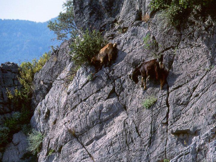 On peut penser ce qu'on voudra des chèvres, mais ces bêtes-là ont de la ressource ! Elles sont même complètement intrépides, la preuve : elles sont les reines de l'escalade de falaises et autres pics rocheux... SooCuriousvous présente quelques ...