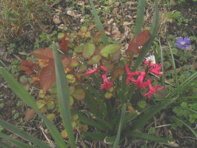 1000 ideas about rosier nain on pinterest petit jardin japonais fleur du japon and arbres de - Petit nain de jardin toulouse ...