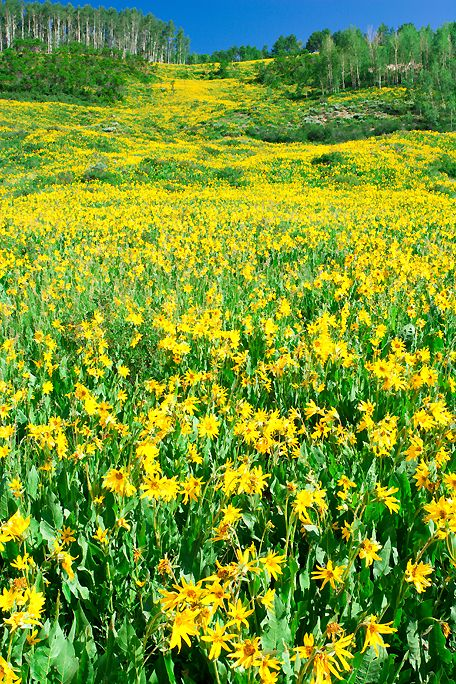 A field of yellow wildflowers near Crested Butte, CO.