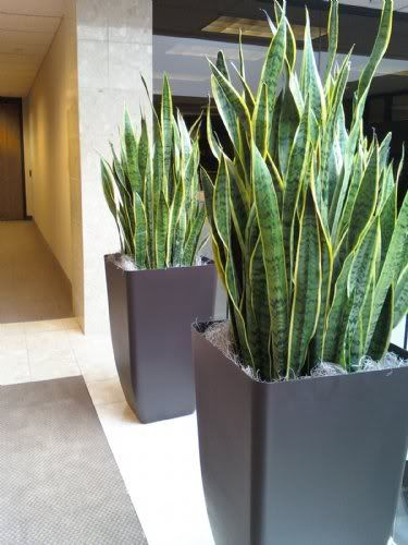 Sansevieria or Mothers in Law Tongue. Almost impossible to kill through neglect. Requires little water or light.