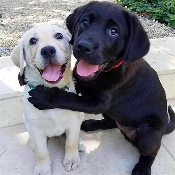 Labradorcute 2019 On Instagram When You Love Your Brother That Much Labradorable Labradorretriv En 2020 Perro Labrador Perro Labrador Bebe Perros En Adopcion
