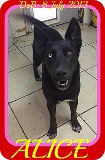 White River Junction, VT - German Shepherd Dog Mix. Meet ALICE, a dog for adoption. http://www.adoptapet.com/pet/17788964-white-river-junction-vermont-german-shepherd-dog-mix