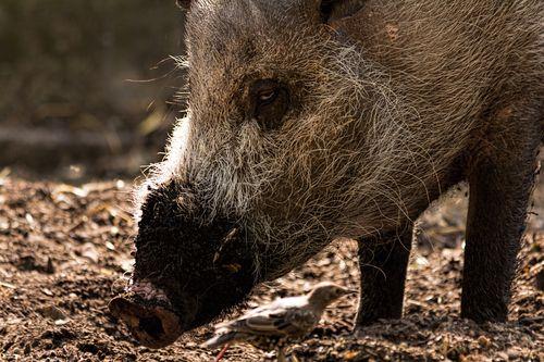 Bornean bearded pig London Zoo