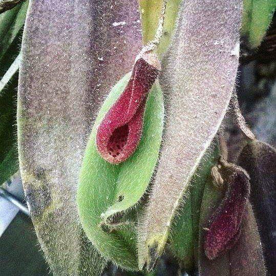 Стена | ВКонтактеИ это... ОРХИДЕЯ!😍😃👍В тропиках #аптекарскийогород расцвела редчайшая ВОЛОСИСТАЯ #ОРХИДЕЯ, или Дресслерелла волосистая (#Dresslerella caesariata)🙈 Вы можете полюбоваться цветением уникального тропического растения в одной из витрин с редкими орхидеями в Пальмовой оранжерее😍А лучше - приходите на экскурсии 1 и 2 октября. Афиша на www.hortus.ru 👍