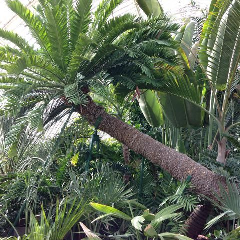MT @NTS_SHG: Encephalartos altensteinii in Kew's Palm House - the oldest pot plant in the world came to Kew in 1775