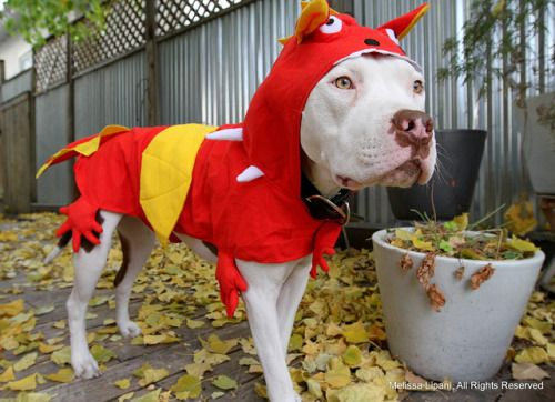bullysmiles:  How to Tame Your Dragon by woofslc on Flickr.#pitbulls #dog breeds #canine pet #dogs #pitbull puppy #pitbull dog #pitbull breeds #red nose pitbull #pitbull terrier #apbt #staffordshire terrier #amstaff #english terrier #black pitbull #moo moo pit #chocolate pitbull #pitbull poodle #blue nosed pit #pitbull mutt #mans best friend #4 month old pitbull