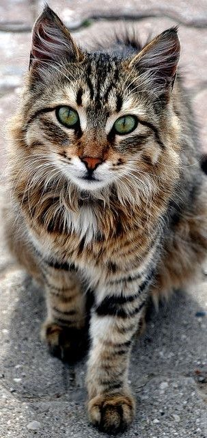 Lots of uncaptioned Pins today. Christmas is coming. Pretty Green Eyes have this Maine Coon all decorated for the Holiday. She probably hopes for special Feline approved bags of treats and new toys in her stocking. Or a monthly Meow Box new this year. She's a large lady who loves the outdoors. That will keep her fit and trim, and warm.