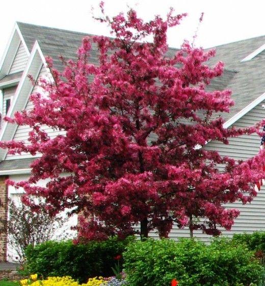 Small Ornamental Trees Oregon: Best 25+ Flowering Crabapple Ideas On Pinterest