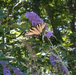 Butterfly Bush Pruning Tips: How and When To Prune Butterfly Bush