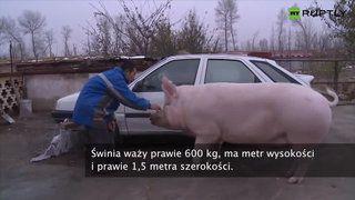 Świnia tak wielka jak samochód. Właściciel jeździ na niej... a poseł Janusz Sanocki ma zaświnioną przeszłość PZPR (obecnie używane w polityce nazwisko: Kukiz) wygłosił Pierwszą Poprawkę do konstytucyjnej równości czasu pracy obywateli w piątki na takich samych zasadach we wszystkich  urzędach w Polsce po Magdalence. Czy kryptosyjonista ześwinił się tylko bżydko z proislamskimi sympatiami do świętowania przy szabasowych świecach? Pytają wyborcy, bo w piątki nie z każdym po drodze do spowiedzi:
