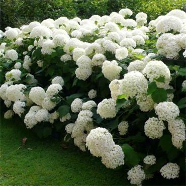 Hydrangea Annabelle | Johnstown Garden Centre, Ireland