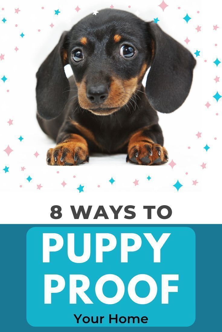 Puppy Proofing Your Home For A Dachshund Best Tips Amazing Dogs