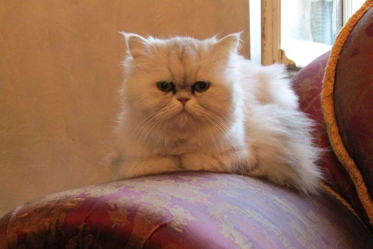 I'M A KING #cat #persian #gatto #persiano