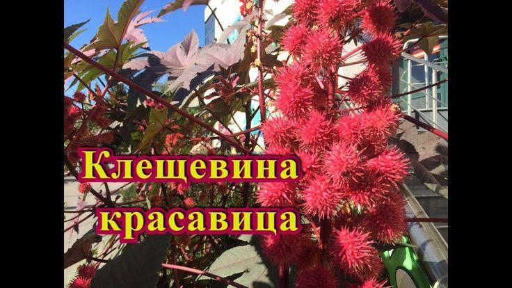 Ядовитые растения ! Клещевина красавица!