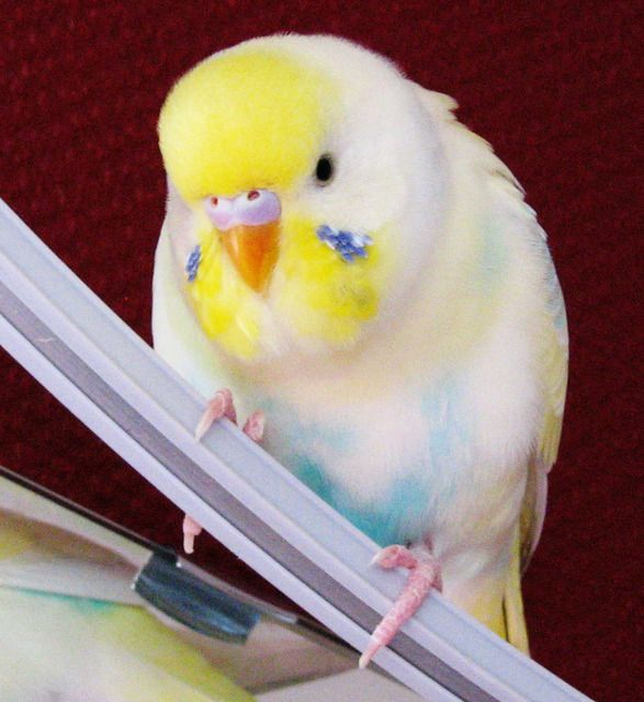 Beautiful and uniquely coloured girl budgie. I had a beautiful pair!