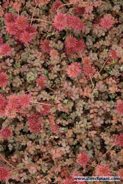 Stekelnootje (Acaena microphylla 'Kupferteppich') bodembedekker, beloopbaar in verschillende kleuren verkrijgbaar