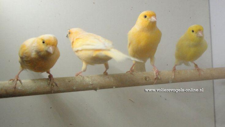 Kanaries - Canari http://www.volierevogels-online.nl
