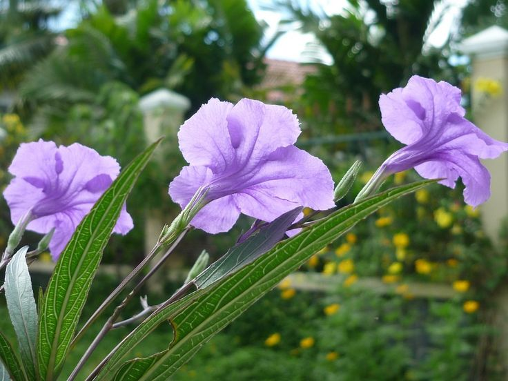 Easy to care for and great for use as coverage, ruellia plants offer unique beauty to landscape areas. So, what is ruellia and can it be grown in the garden? Read here to learn more about growing ruellia.