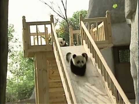 Baby pandas on a slide | Grist
