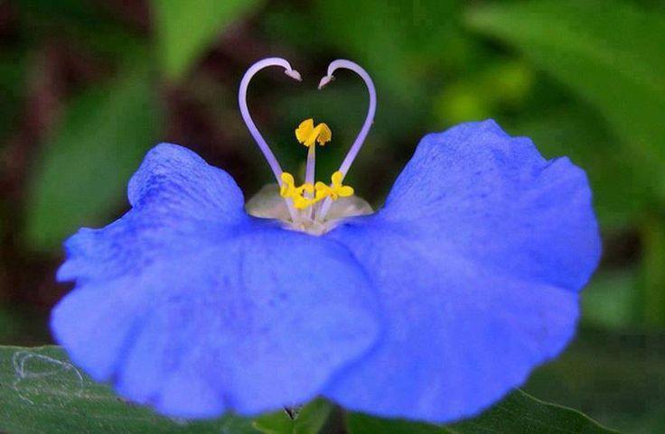 Tradescantia, planta silvestre (Texas) con flores de tres pétalos triangulares.