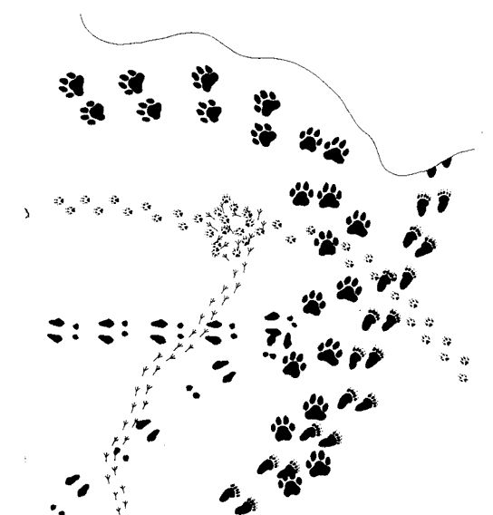 Animal Track Story