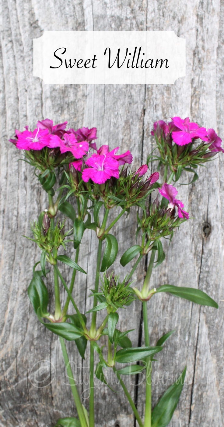 Sweet William - Dianthus  I used to plant these for my sweet son William when he was a little boy. Now I plant them around his cross.