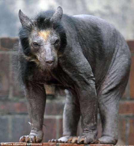Shaved bear. Looks really scary!