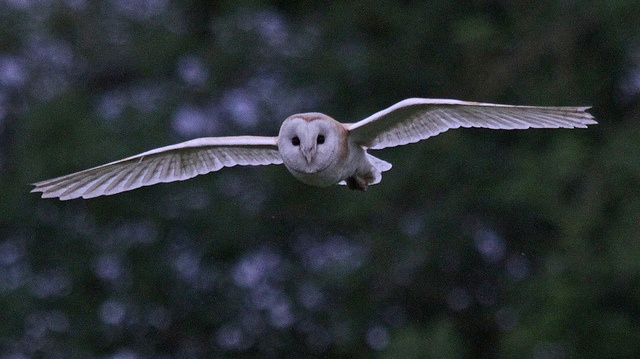 Barn Owl,