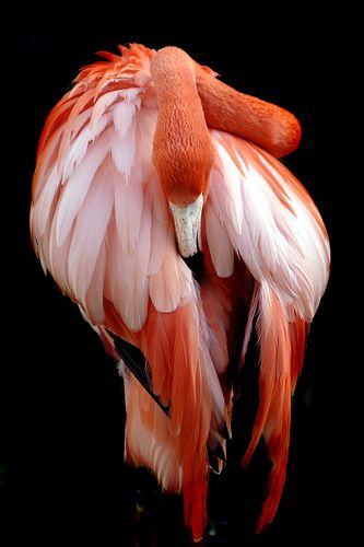 Amazing wildlife -  Flamingo photo #flamingos