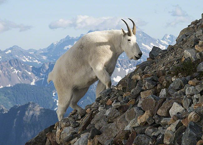 Mountain animals pictures - photo#31