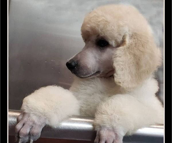 Litter Of 9 Poodle Standard Puppies For Sale In Manchester Mi