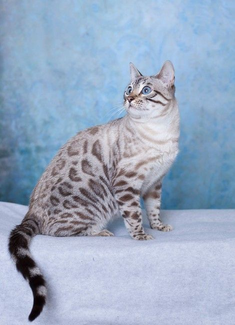 Sunshine Bengals in Canada | Bengal Cats Bengals Illustrated Directory