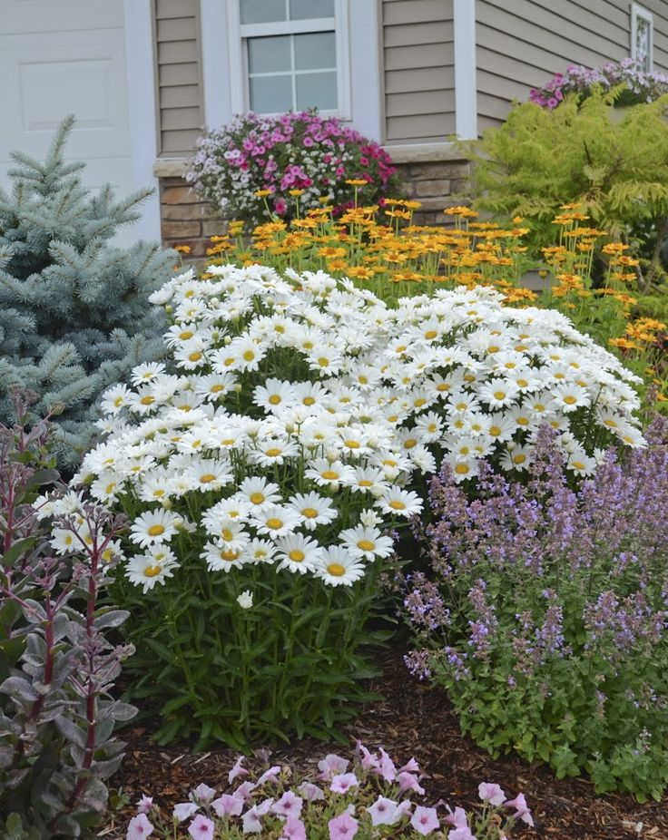 Nothing like a bed of Daisies to brighten your day. These are Leucanthemum AMAZING DAISIES Daisy May. #ad You could win a $250 gift certificate from Proven Winners.