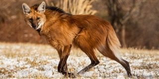 TIL The maned wolf is the largest canid of South America. It looks more like a long-legged fox than a wolf. Genetic studies show that it is neither fox nor true wolf, but a distinct species. It is the only member of its genus, Chrysocyon. : todayilearned